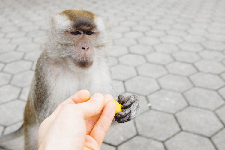Close-up of cropped hand giving banana to monkey outdoors