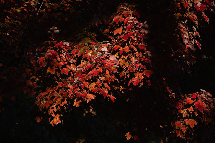 Close-up of autumnal tree during autumn