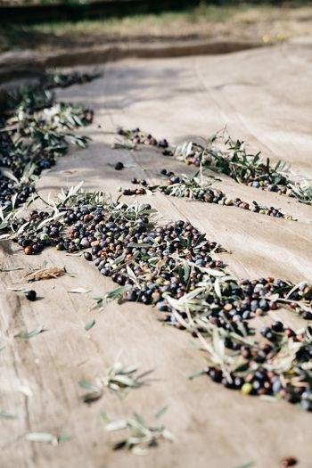 Olives lying on a tarp during olive harvest