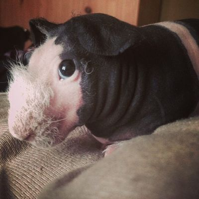 Who Is Cute I Am Shine Love Sweety  Guine Pig Pet Black New Lovley  Smile Happy Thanks  Brother Czech Republic Better 💕🐚