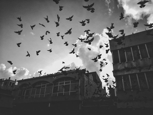 Flying Flock Of Birds Mid-air Large Group Of Animals Building Exterior Sky Architecture Bird Outdoors Built Structure No People Animal Themes Day City EyeEm Selects Photography Eyeemphotography Photooftheday Mauritian Mauritius Streetphotography Best EyeEm Shot EyeEmBestPics Blackandwhite This is Mauritius ❤️