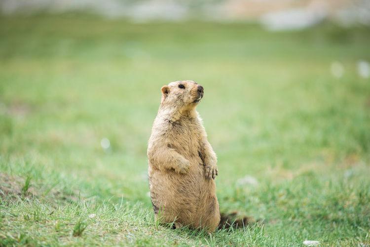 Marmot Animal Themes Animal One Animal Animal Wildlife Field Looking Marmot Standing