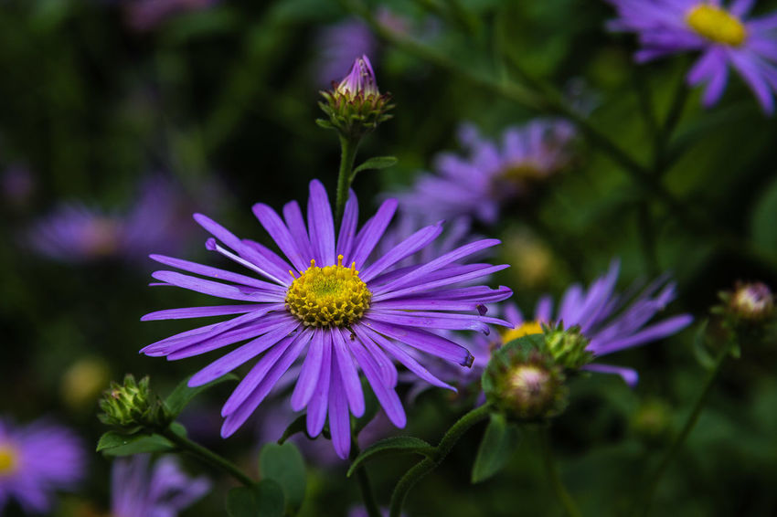 'Mönch' is a bushy herbaceous perennial to 90cm, with dark foliage and yellow-centred, lavender-blue daisies 5cm across. https://www.rhs.org.uk/Plants/93410/Aster-x-frikartii-M-246;nch/Details Daisy Aster Beauty In Nature Close-up Flower Flower Head Petal Purple