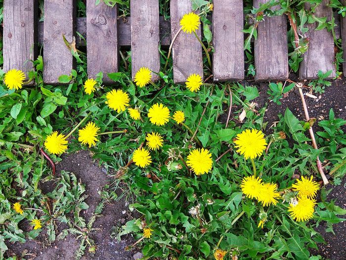 Flower Yellow Day Outdoors Nature High Angle View Full Frame Backgrounds Growth No People Beauty In Nature Blooming Flower Head Wooden Texture Summertime Dandelion Seed Dandelion Sunlight Yellow Flower Nature Floor Plant Live For The Story Textured  Plant