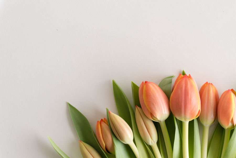 Orange tulips Beauty In Nature Bunch Of Flowers Close-up Copy Space Flower Flower Head Flowering Plant Fragility Freshness Green Color Indoors  Leaf Nature No People Petal Plant Plant Part Still Life Studio Shot Tulip Vulnerability  White Background