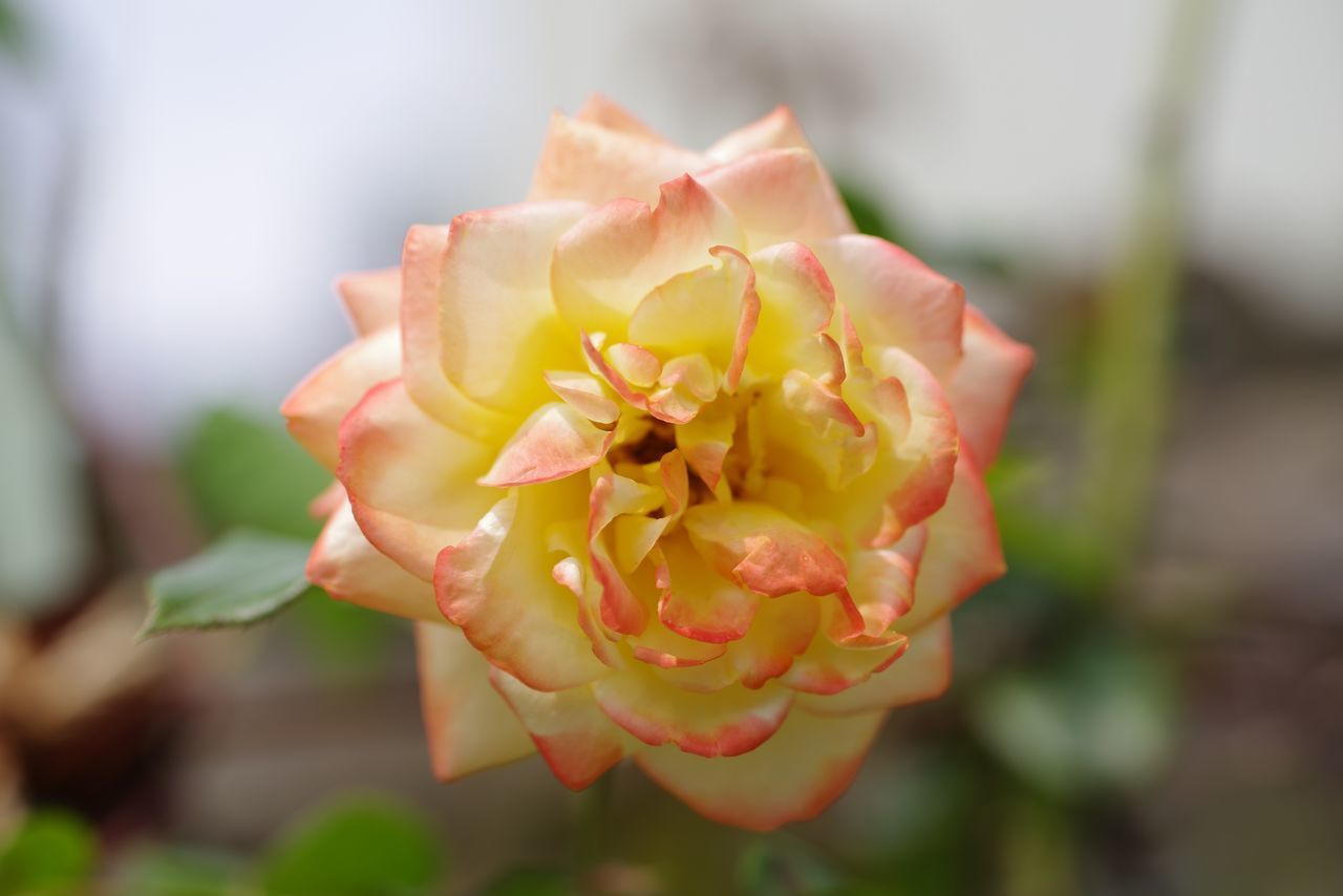 CLOSE-UP OF ROSE IN GARDEN