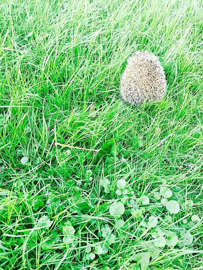 Grass Growth Green Color Close-up Field Nature Day Beauty In Nature Green Grassy No People Animal Hedgehog Adventure