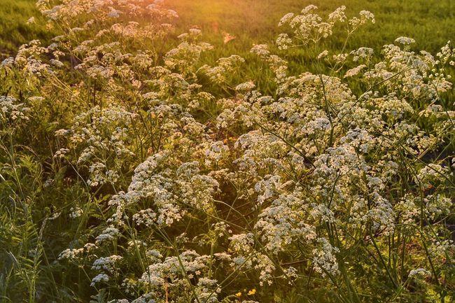 Summer night Summertime Wildflowers Sunset Summernight First Eyeem Photo The Essence Of Summer