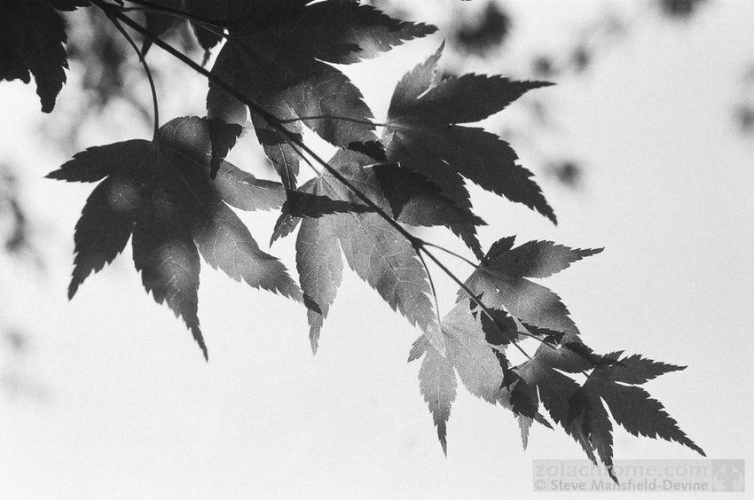 Shooting on monochrome film again https://mansfield-devine.com/zolachrome/2018/08/more-monochrome/ Black & White Beauty In Nature Blackandwhite Close-up Day Daylight Leaf Monochrome Nature Plant Sunlight