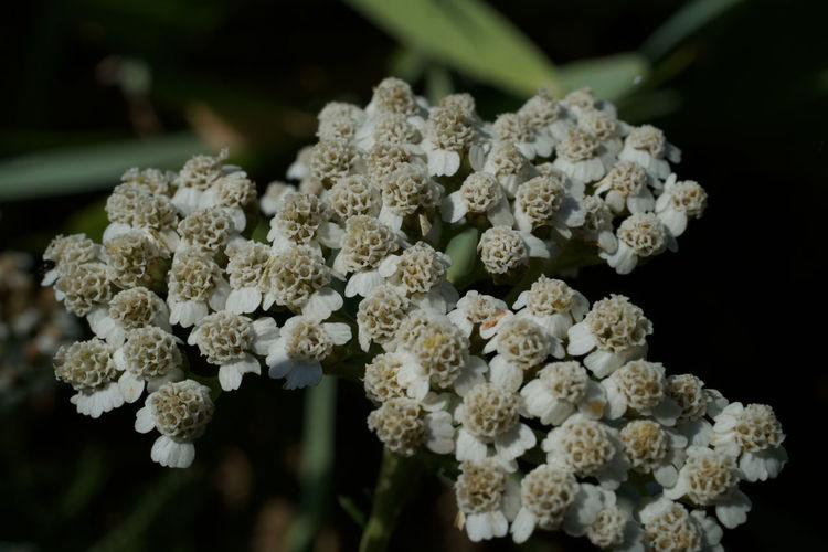 Close-up of white hydrangea flowers