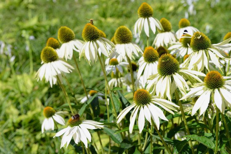 white echinacea flower in flowerbed. White Color Herbal Herbal Plant Echinacea White Flower Summer Flower