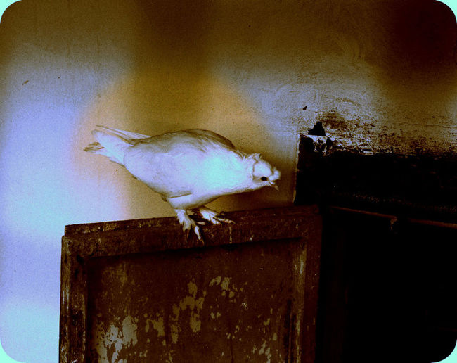Guvercin Pigeon Bird Samsungnx20