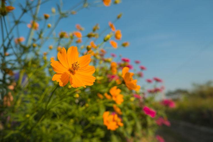 Close-up of orange cosmos flower against sky