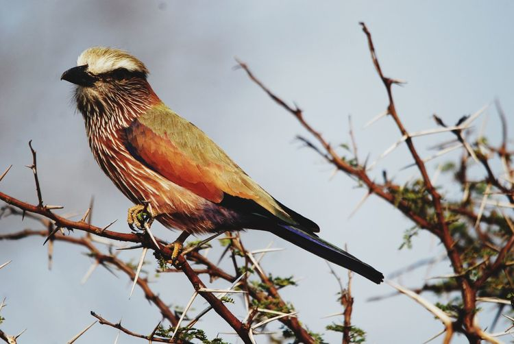 Bird in a thorn