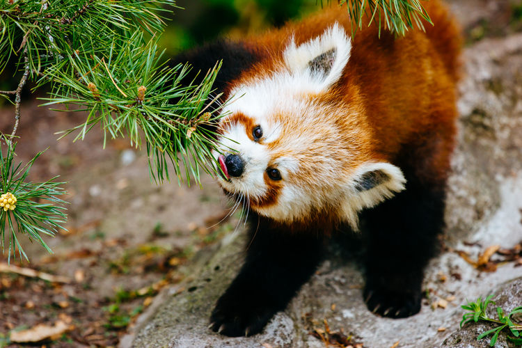 Close-Up Of Red Panda By Fern In Forest