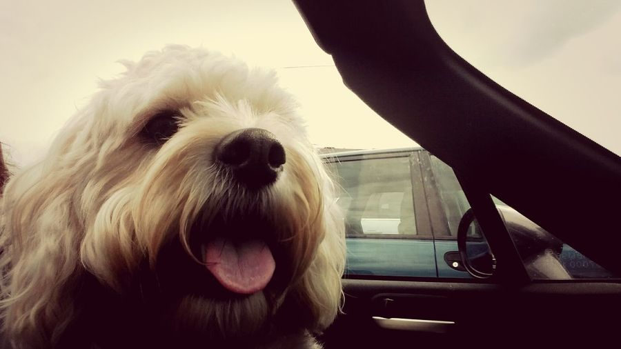 Riding with the top down Cavachon