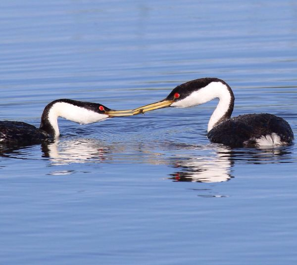 Western Grebes Hunting Fish In Lake