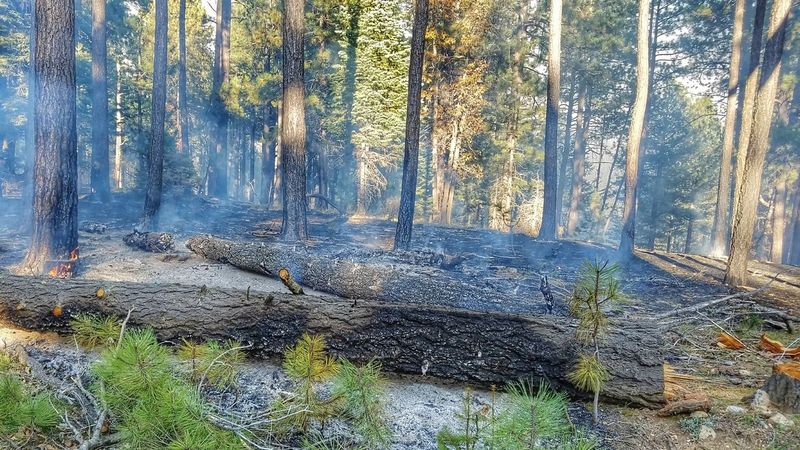 Nature Tree Forest Beauty In Nature No People Day AZ Apache Sitegreaves National Forest Mongollon Rim Prescribed Burn