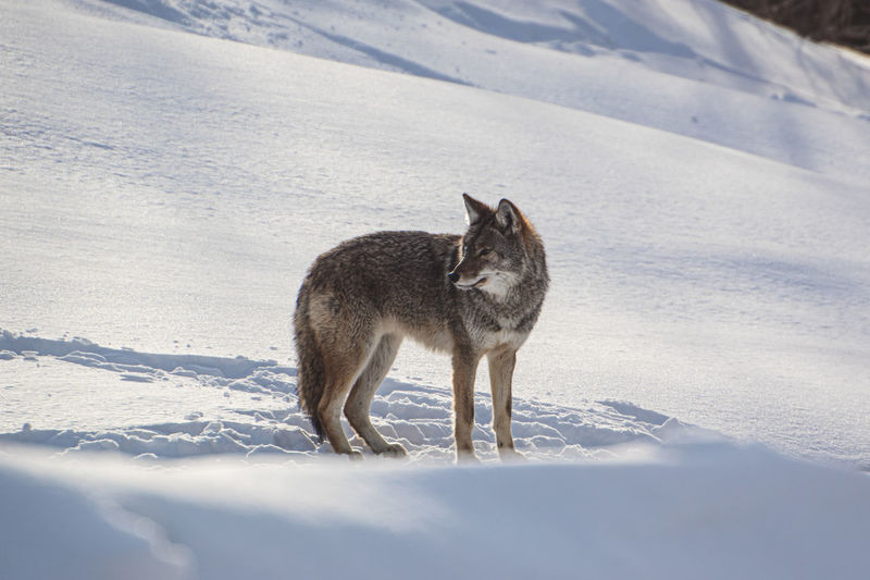 view of a coyote on snow