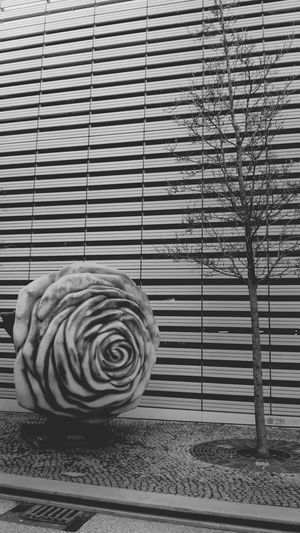 Une rose est une rose Urban Geometry Taking Photos Blackandwhitephotography Myfuckingberlin Monochrome Urban Nature Blackandwhite Roses Adapted To The City