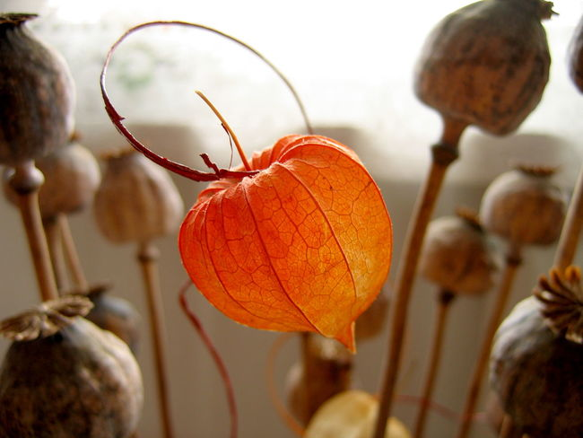 Chinese lantern plant Plants Beauty In Nature Chinese Lantern Plant Close-up Day Focus On Foreground Fragility Freshness Growth Nature No People Orange Color