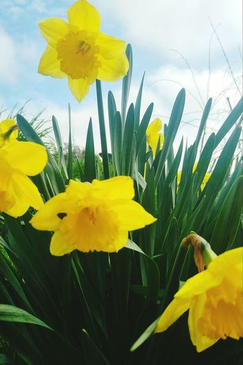 Daffodils Fragility Yellow Flower Nature Beauty In Nature Plant Flower Head Petal Close-up Blossom Freshness No People Outdoors Day Sky Cloud Blue Sky