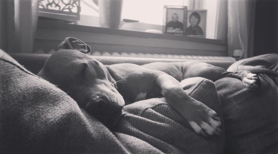 Sleepy Pitbull Home Safe True Love Dontbullymybreed Stop Dogfighting Doglover