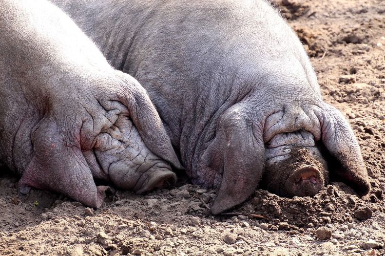 Two pigs sleeping on sand