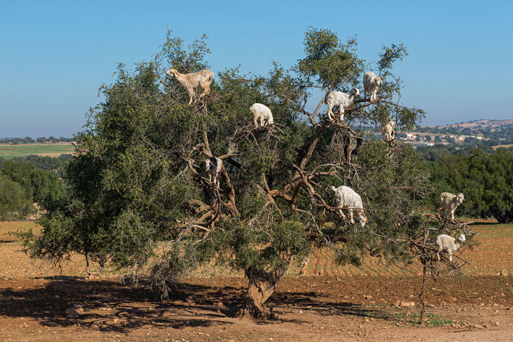 Tree Climbing Goats EyeEm Animal Lover EyeEm Best Shots EyeEm Selects EyeEm Gallery Goat Goats Morocco Animal Themes Argan Tree Clear Sky Climbing Goats Group Of Animals Herbivorous Landscape Nature No People Tranquility Tree Tree Climbing Tree Climbing Goat Summer Exploratorium #FREIHEITBERLIN