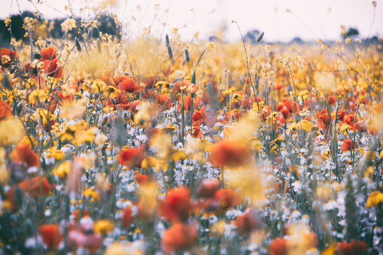 Growth Plant Beauty In Nature Flowering Plant Flower Land Orange Color Freshness Field Day Nature No People Selective Focus Close-up Fragility Vulnerability  Tranquility Yellow Outdoors Sky Flower Head Flowerbed My Best Photo Stay Out Exploring Fun