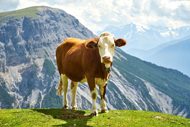 Cow in a mountain range