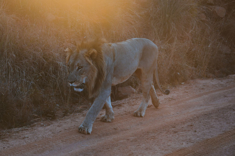 First evening at the safari, never thought we would meet him so quickly... He walked up the road, passing by and bearly even noticing us. it was one of the most exciting and stunning moment in my life. Adventure Africa Animal Lion Nature Outdoors Safari Safari Animals South Africa Sunset Travel Wildlife Wildlife & Nature