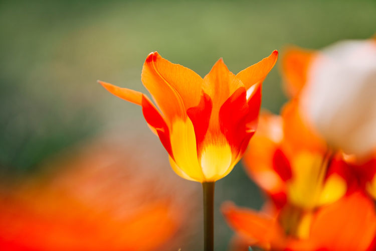 Beauty In Nature Blooming Close-up Day Flower Flower Head Fragility Freshness Growth Nature No People Orange Color Outdoors Petal Plant Red