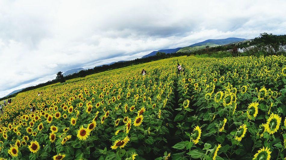 Sun flower highland Sun Flowers Đà Lạt, Việt Nam King Storm Photo
