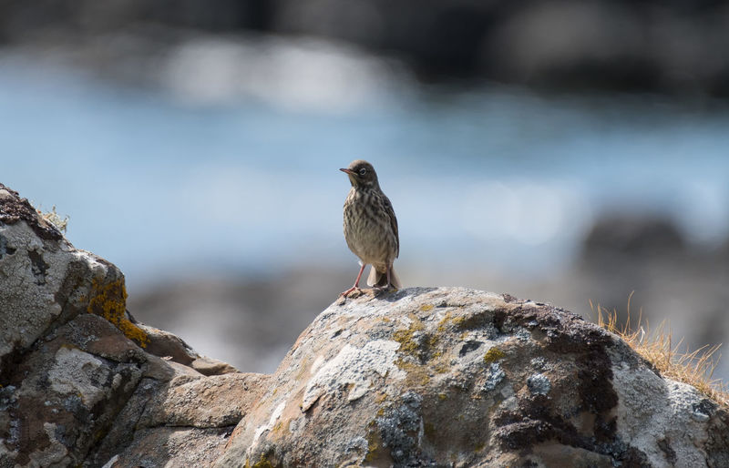 Pipit Perching On Rock