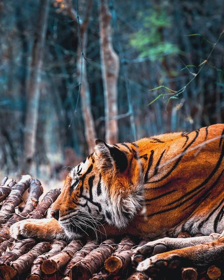 Close-up of tiger relaxing on wood against trees