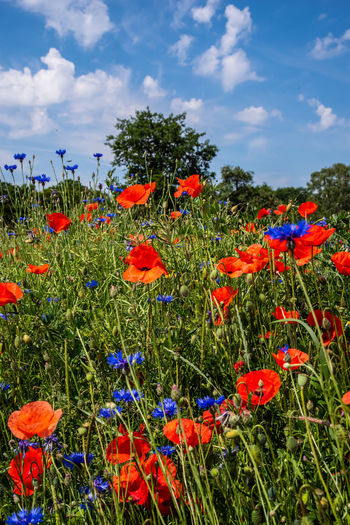 Close-up of poppies on field against sky