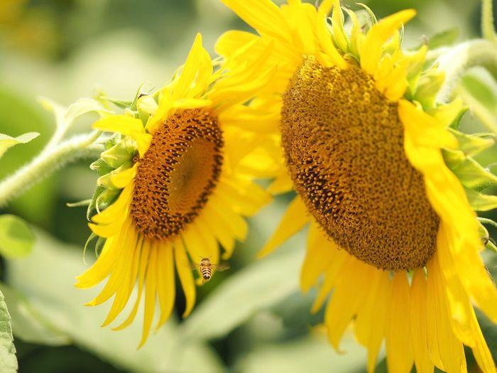 猛暑関係なくハチさんは働いています💦 Olympus OM-D E-M5 Mk.II Tokyo Street Photography Bee 🐝 Bee Flower Flowering Plant Flower Head Yellow Growth Plant Sunflower Close-up Insect Focus On Foreground