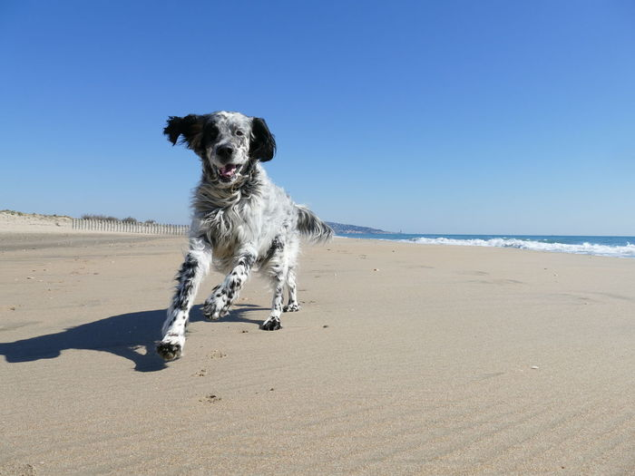 English setter dog running towards camera on a beach under a blue sky with copy space