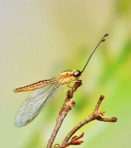 Owl fly Antenna Macro_collection Macro Nature Macro Photography Owl Fly Insect One Animal Animal Themes Animals In The Wild Focus On Foreground Close-up Nature No People Animal Wildlife Outdoors Damselfly Day