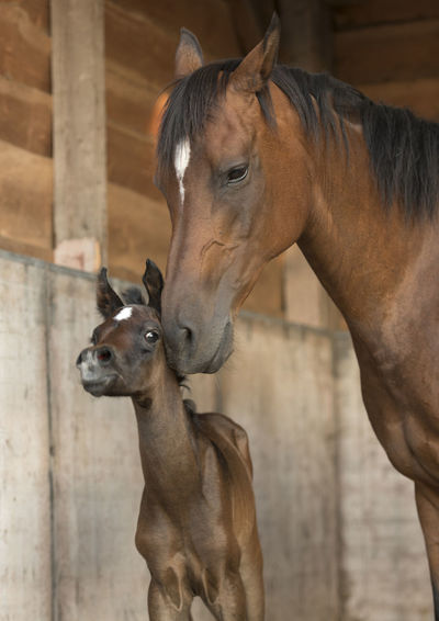 Animal Themes Arabian Horse Close-up Foal Horse Love Mammal New Born Newly Born Horse No People Outdoors Young Horse