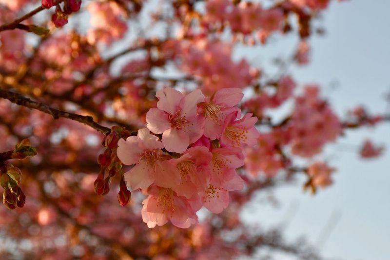 カワヅザクラ Sakura Cherry Blossom EyeEm Best Shots - Flowers Plant Flower Flowering Plant Beauty In Nature Tree Fragility Growth Freshness Pink Color Branch Blossom Petal Springtime Outdoors No People Close-up Day