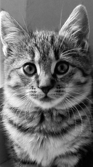 Kitty Black And White Cat Close-up Domestic Cat Kitty Looking At Camera Lovely Kitty One Animal Pets Portrait Whisker