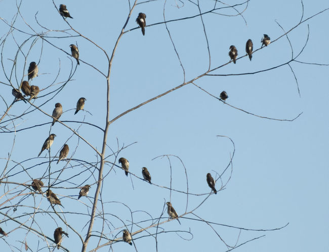 Flock of White-rumped Munias perched in a leafless tree in Thailand Birds Flock Flock Of Birds Munia Nature Perching Bird Thailand Tree Wildlife