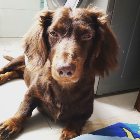 You are being watched. Pets Animal Themes Dog Check This Out Dog❤ I Love My Dog Taking Photos Dog Love Enjoying Life Doggie Dog Lover Cute Pets Dogs Of EyeEm Dachshund Sausagedog Dachshundlove Animal Head  Doglover