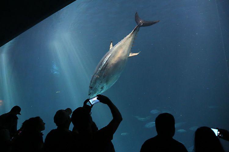 Man Photographing Tuna Swimming At Aquarium