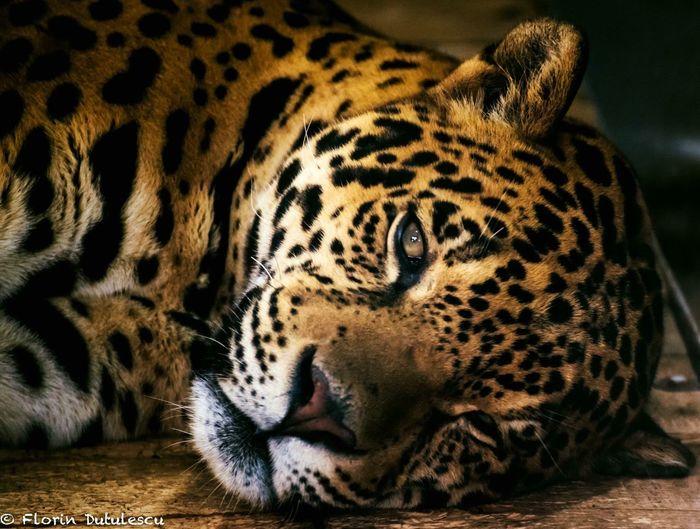 JAGUAR Wildlife