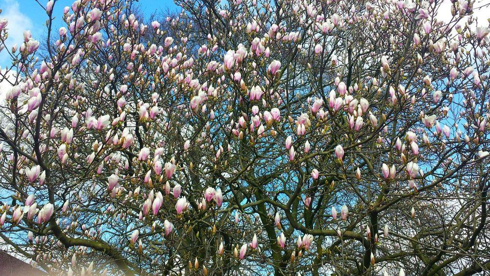 Magnolia_Blossom Magnolia Magnolia Tree Magnolia Blossoms Magnolia Flower Tree_collection  Treeoftheday TreePorn Nature_perfection Naturephotography Tagsforlikes Nature Photography Beautiful Tree Beautiful Nature #rose #beauty #nature #flower #love #eyeem #sun Picoftheday #photooftheday #photography #iphonesia #pikturdis #WeAreTheCulture #jj_forum #webstagram #world #streetstyle #shootinupny #statigram #randomfreshness #tbt #twitter #nycphotography #nyc #les #igdaily #everybodystreet #vsco #streetphotography #s Eyeemphotography EyeEm Best Shots - Nature Eye4photography  EyeEm Best Shots Eye Em Nature Lover EyeEm Best Shots - My Best Shot EyeEm Nature Lover Nature_collection Landscape_collection EyeEmNatureLover Naturelover Nature_collection