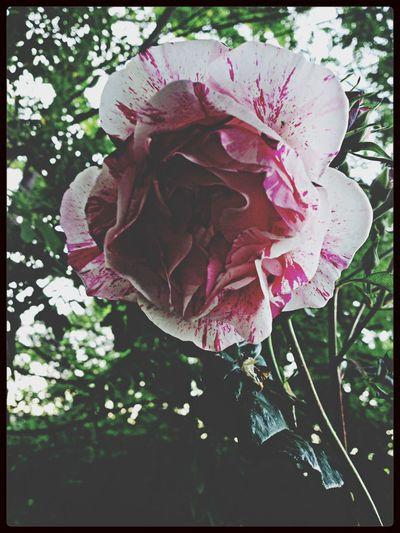 Rose♥ Hello World Enjoying Life Flowers ??