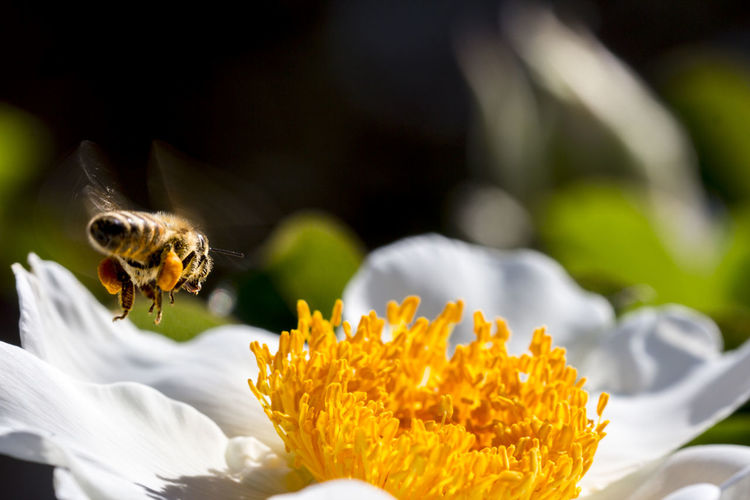 Animal Themes Bee Bee 🐝 Blooming Botany Close-up Flower Flower Head Flying Honey HoneyBee Insect Landing Macro Nature Plant Pollen Pollination Selective Focus Spring Spring Flowers Spring Has Arrived Springtime Wildlife Yellow